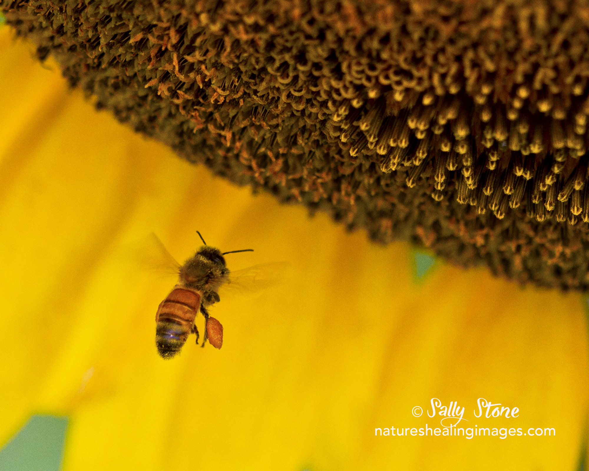 Bee with Sunflower