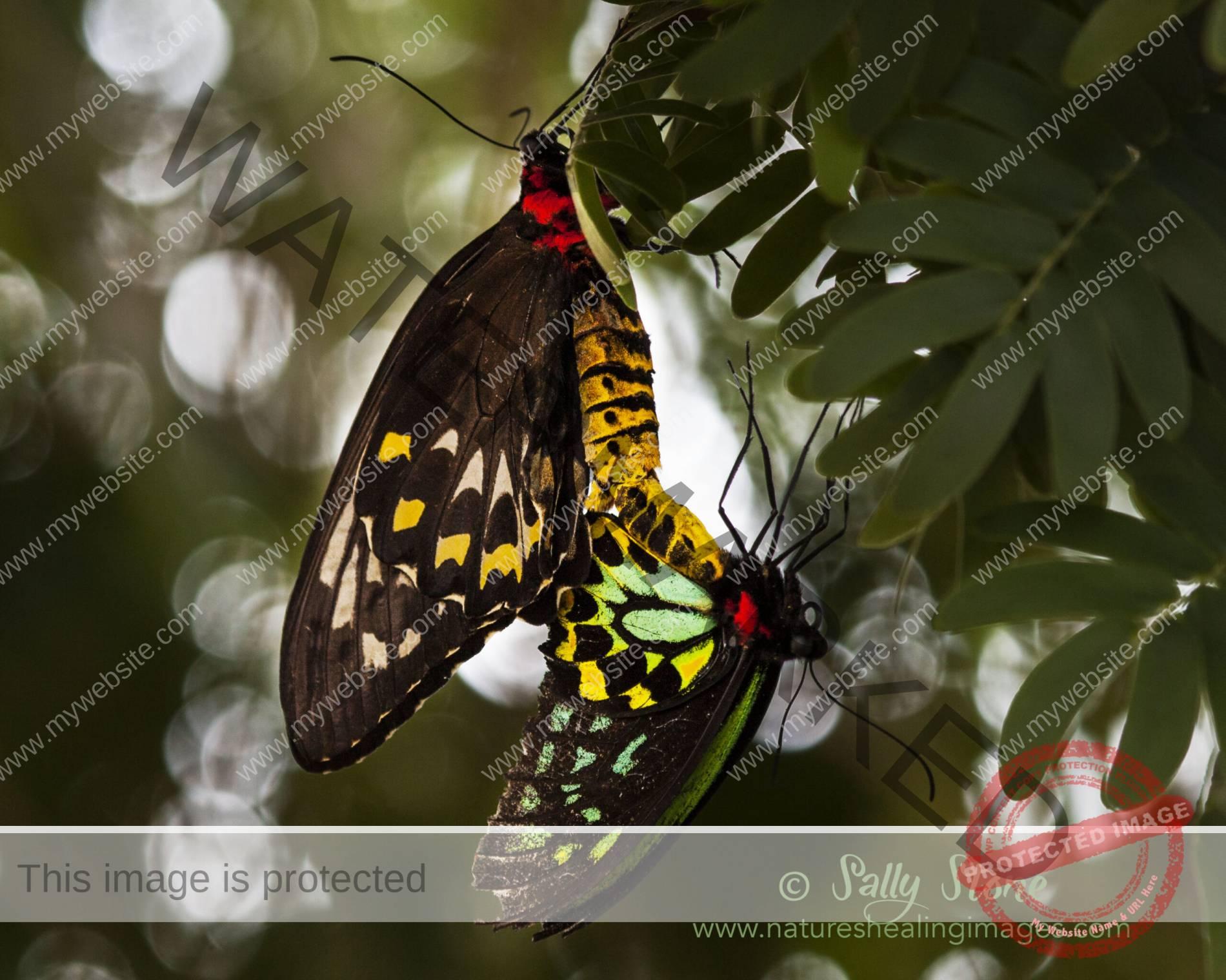Richmond Butterflies Mating