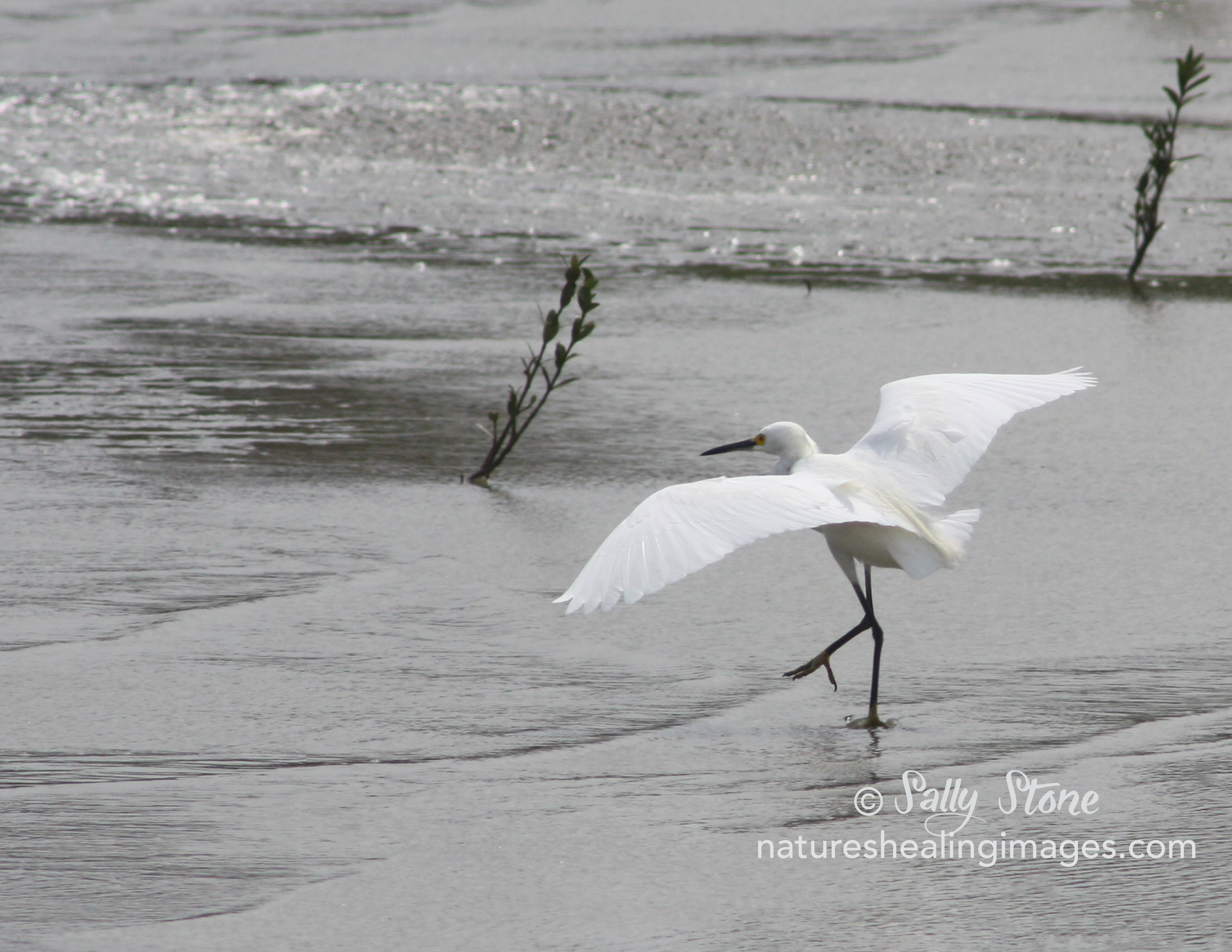Snowy Egret Stepping Out