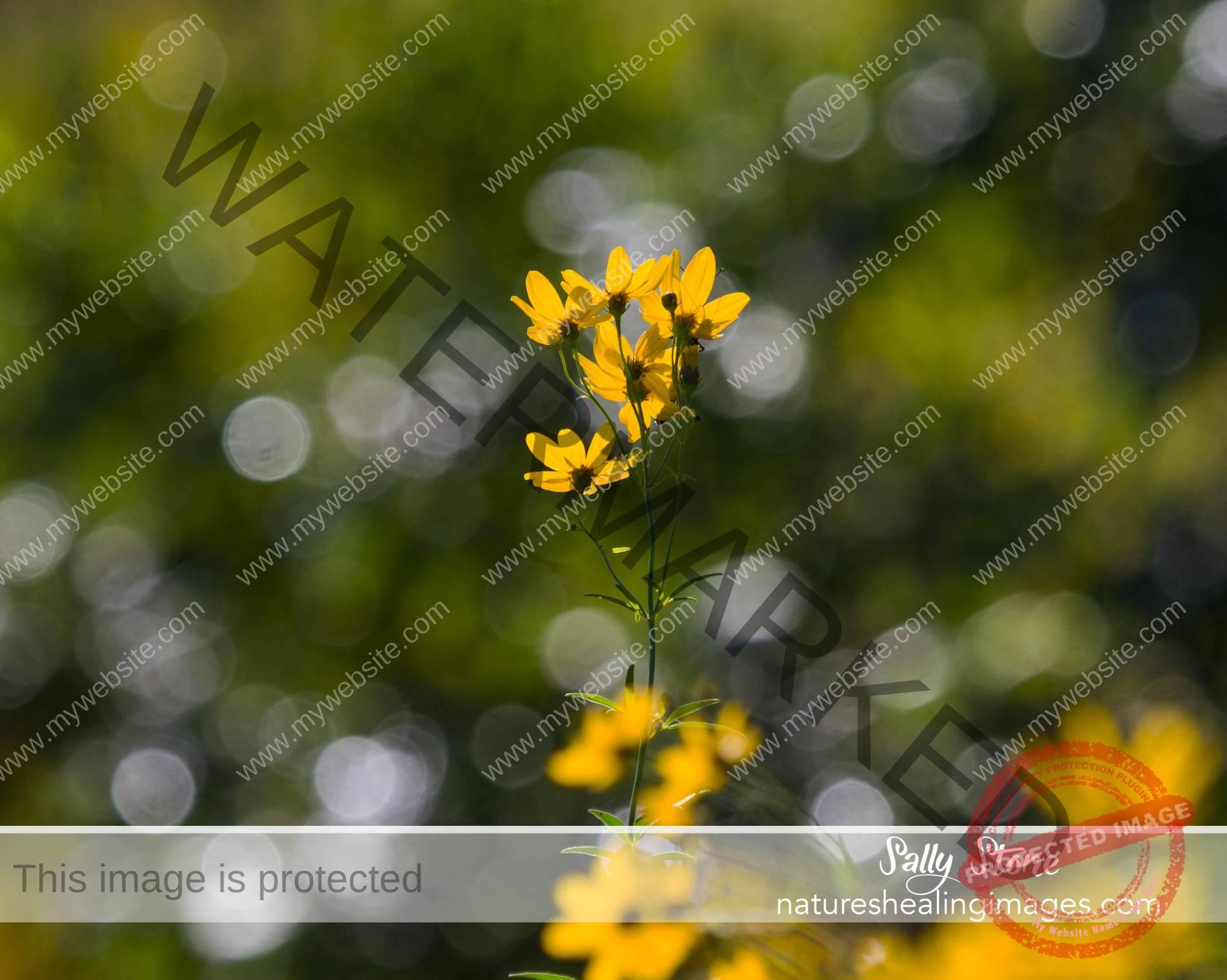 Helianthus—Prairie Sunflowers