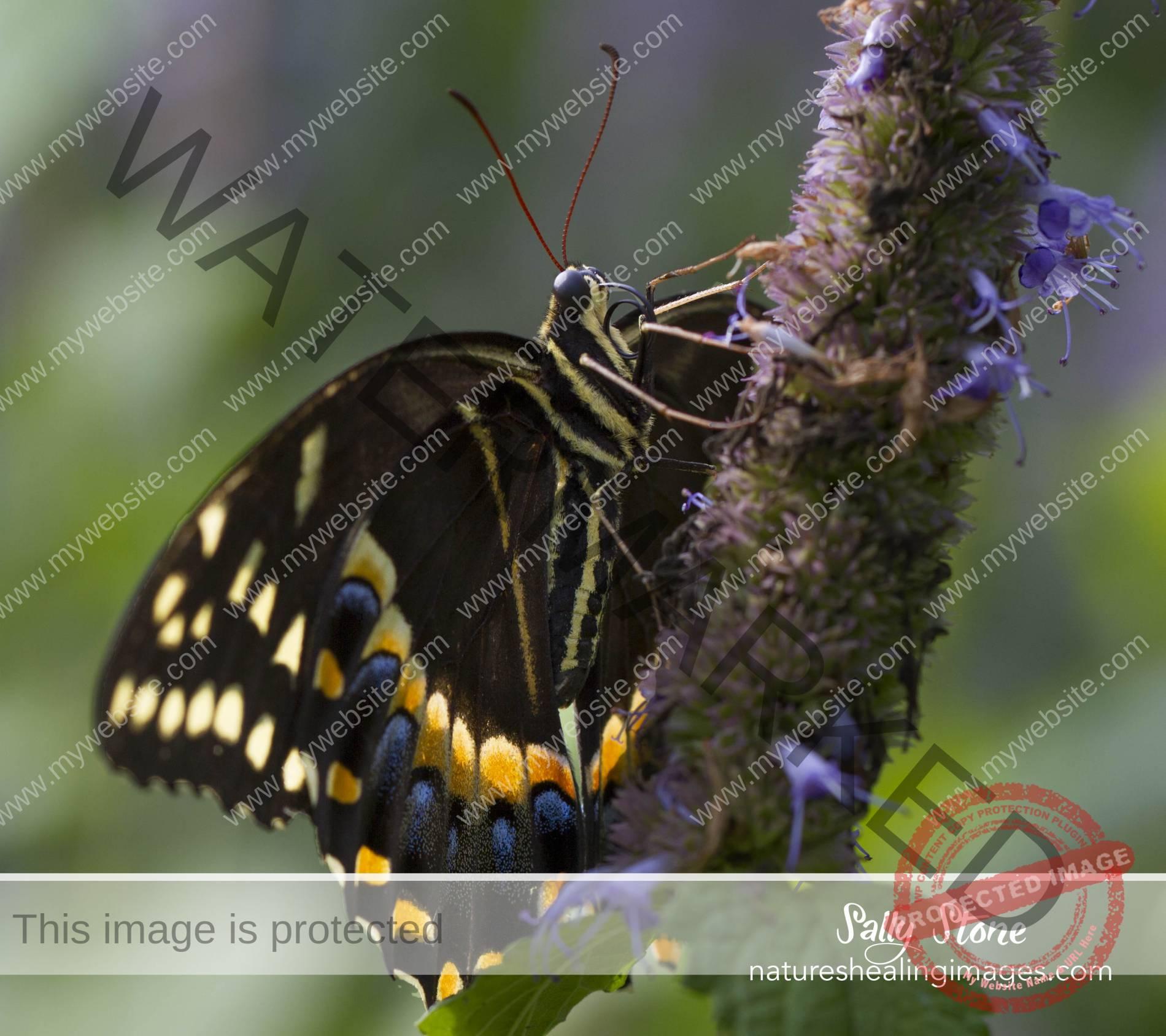 Spicetail Swallowtail