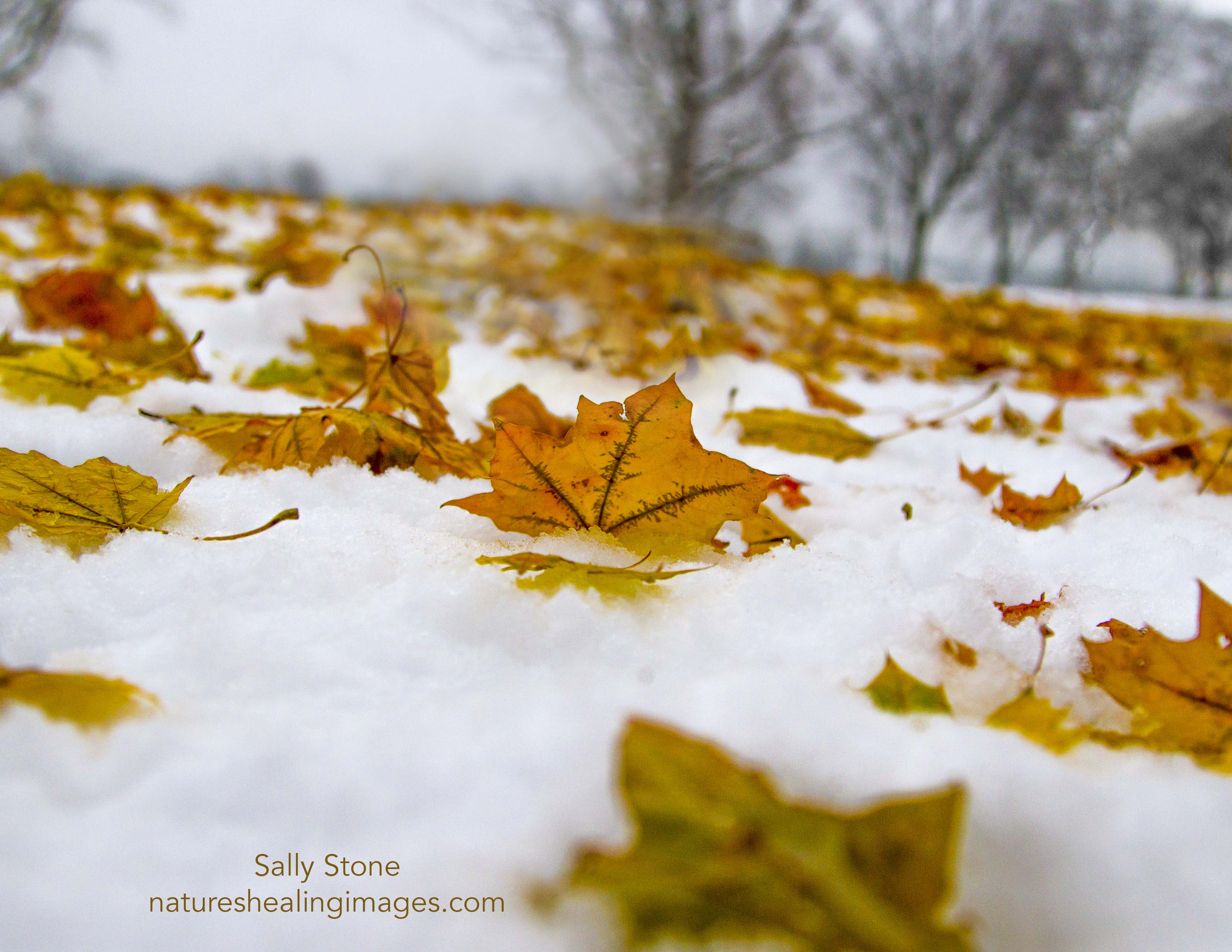 Gold Leaves on Snow