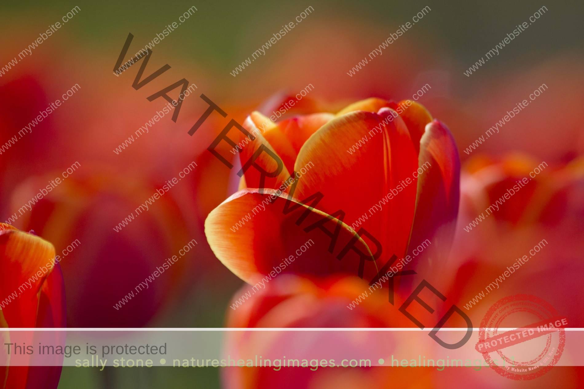 Shining-Tulip