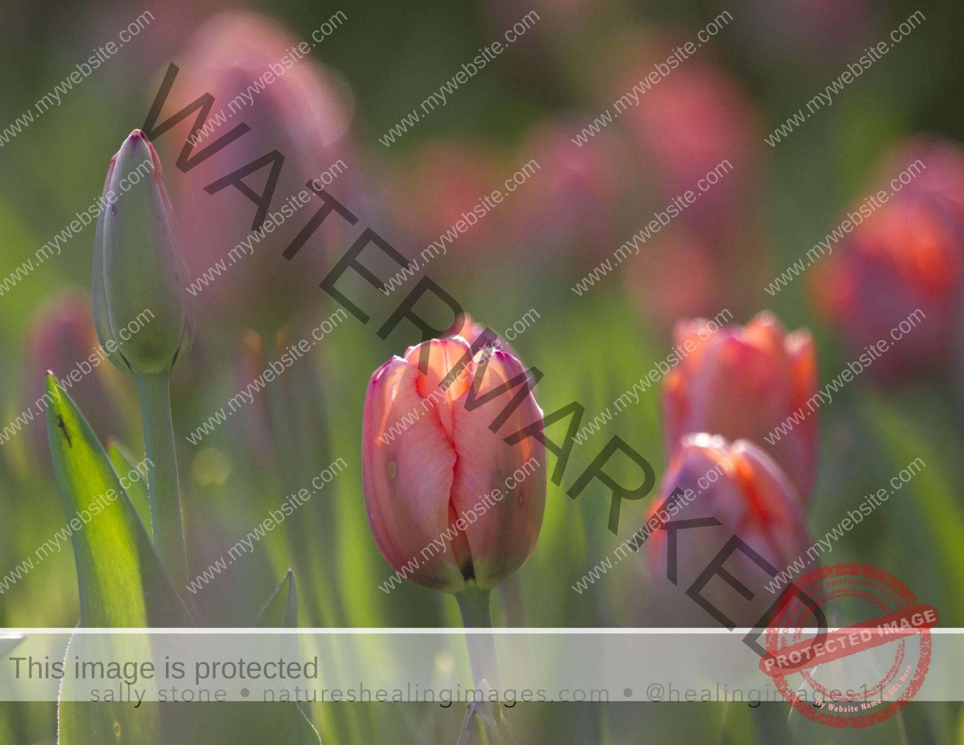 Field-of-Tulips